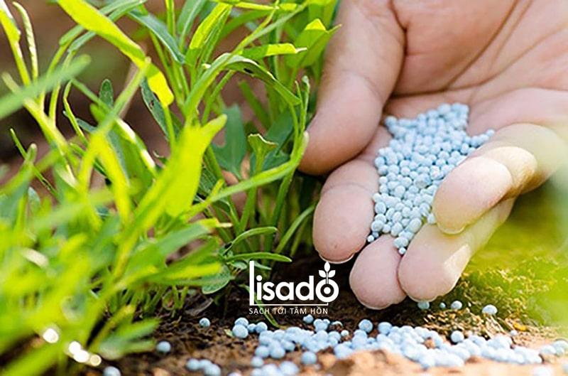 Rau trồng thổ canh phải bón phân trực tiếp cho cây