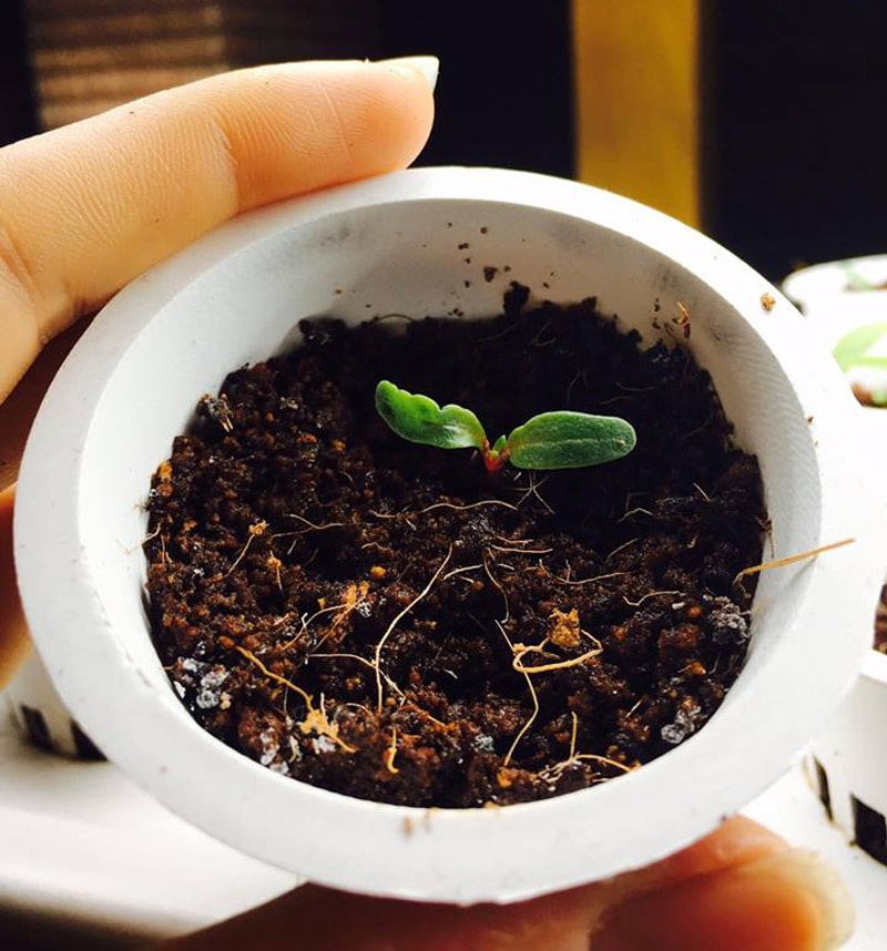 Hướng dẫn ươm và chăm sóc cây giống