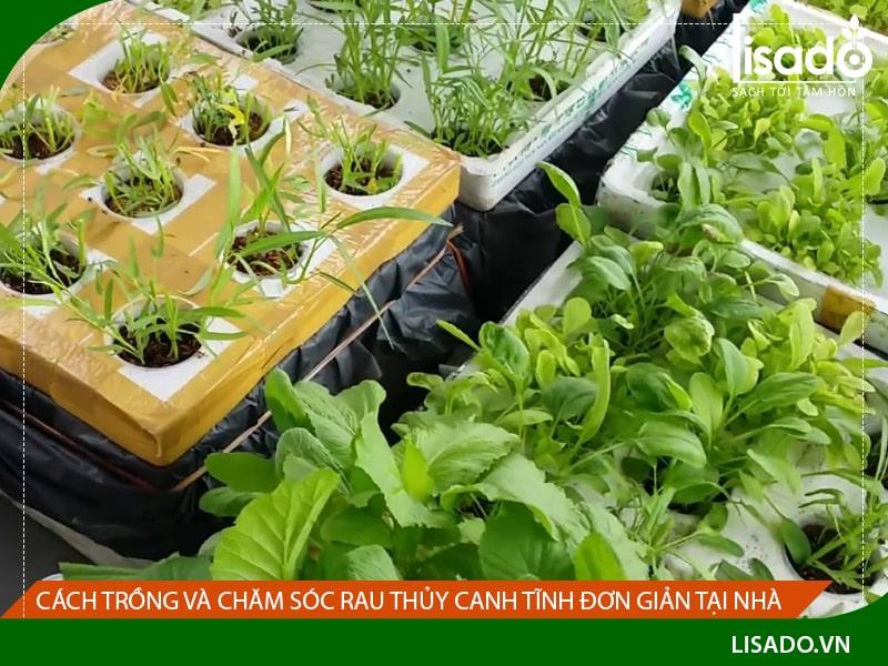Cách trồng và chăm sóc rau thủy canh tĩnh đơn giản tại nhà