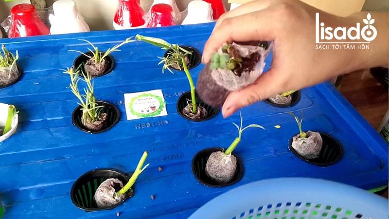 Chuyển cây con vào hệ thống trồng rau thủy canh tĩnh