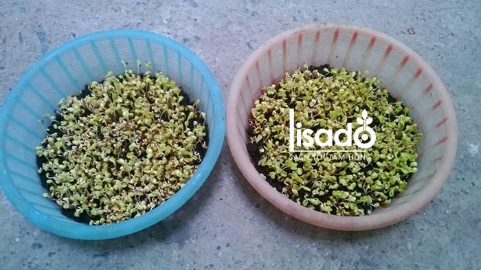 Chuẩn bị dụng cụ trồng rau mầm tại nhà