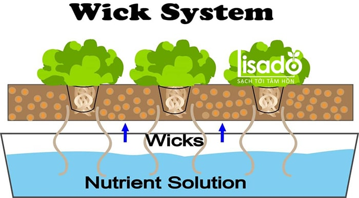 Hệ thống thủy canh dạng bấc (wick hydroponic system)