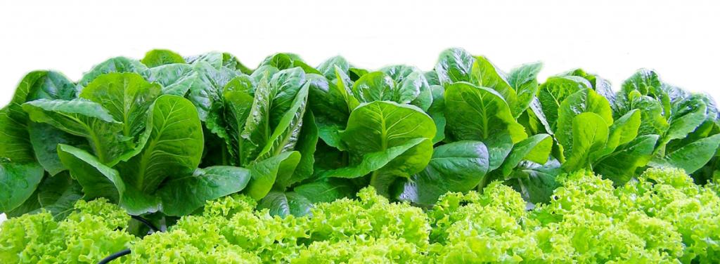 So sánh sự khác nhau giữa rau trồng thủy canh và rau trồng thổ canh
