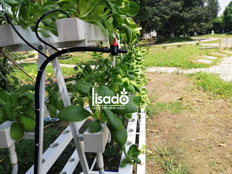 Dự án trồng rau thủy canh anh Tân ở Cổ Loa, Hà Nội