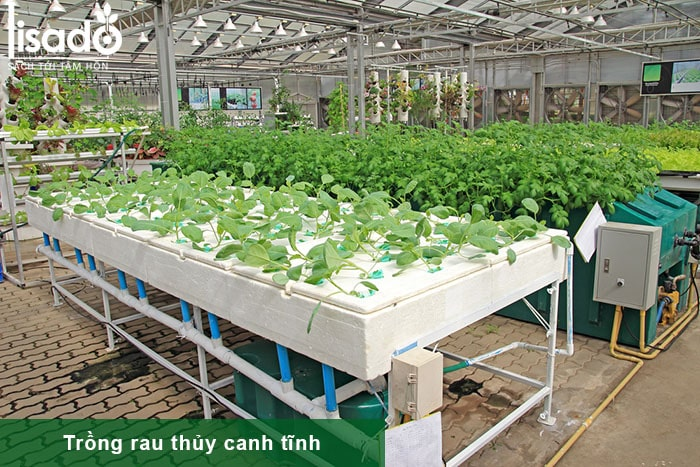 Hướng dẫn cách trồng và chăm sóc rau thủy canh tĩnh tại nhà