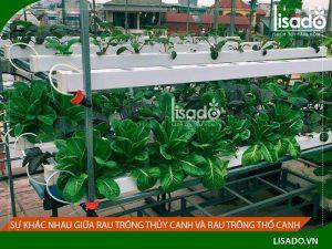 Sự khác nhau giữa rau trồng thủy canh và rau trồng thổ canh
