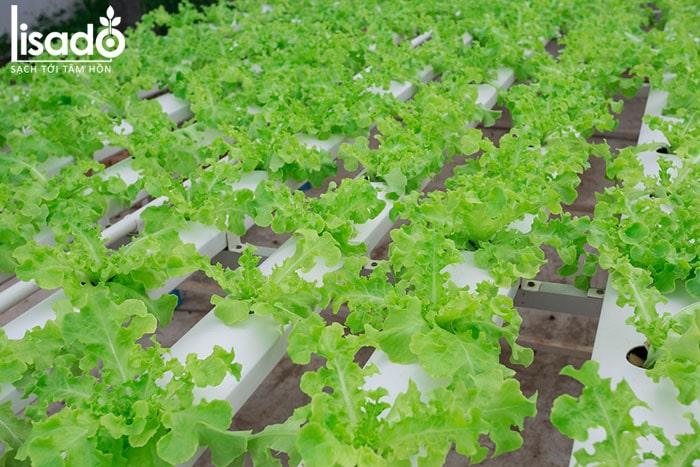 Thủy canh là gì? Các mô hình trồng rau thủy phổ biến hiện nay