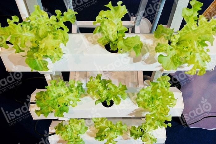 Hướng dẫn cách trồng rau xà lách thủy canh tại nhà không cần đất