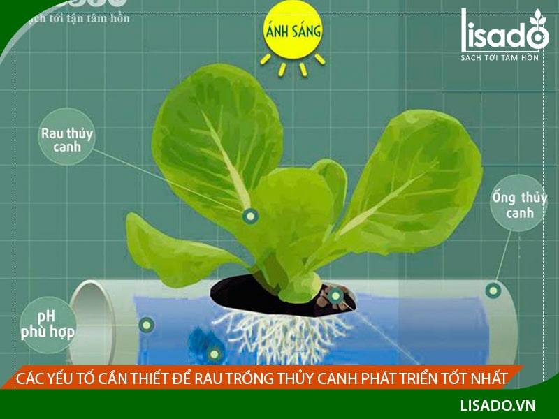Các yếu tố cần thiết để rau trồng thủy canh phát triển tốt nhất