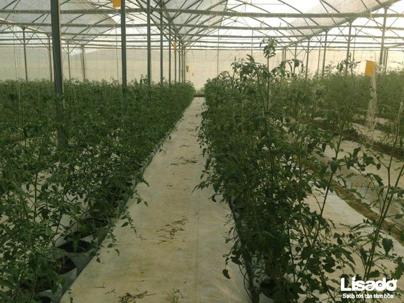 Dịch vụ trồng cà chua thủy canh hydrobonic chất lượng cao