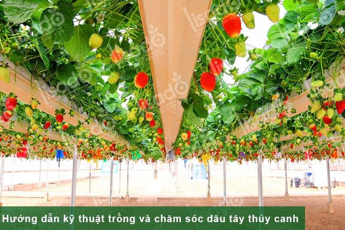 Hướng dẫn kỹ thuật trồng và chăm sóc dâu tây thủy canh