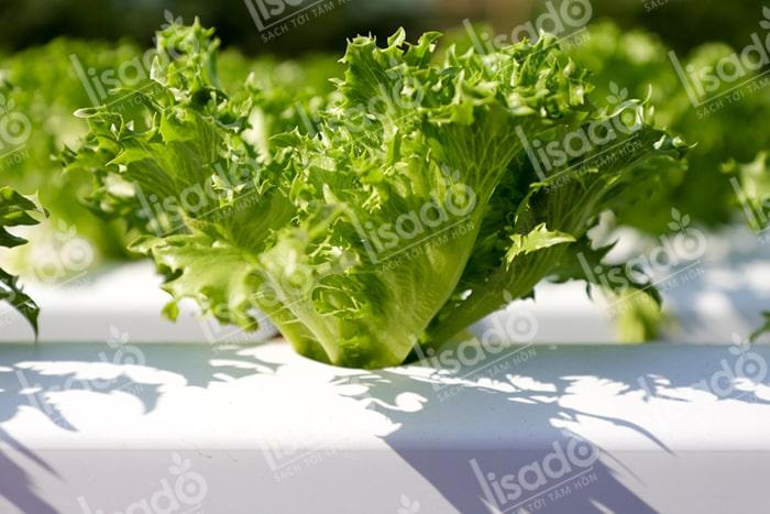 Lưu ý cơ bản khi trồng rau thủy canh tại nhà