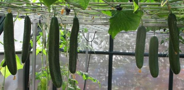 Hướng dẫn cách trồng dưa leo thủy canh đơn giản tại nhà