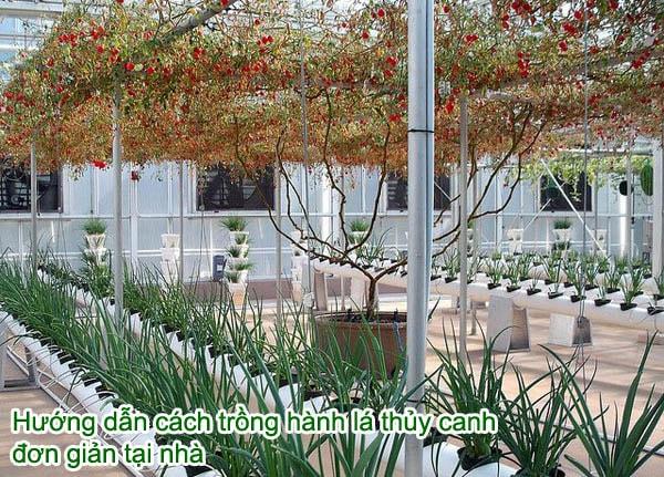 Hướng dẫn cách trồng hành lá thủy canh đơn giản tại nhà