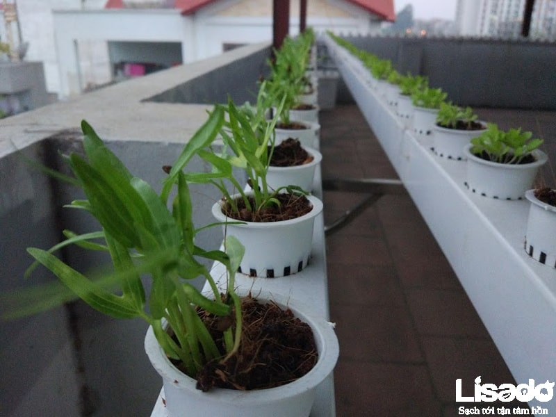 Lisado thực hiện công trình trồng rau thủy canh này như thế nào?