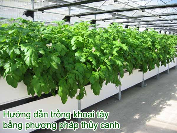 Hướng dẫn trồng khoai tây bằng phương pháp thủy canh