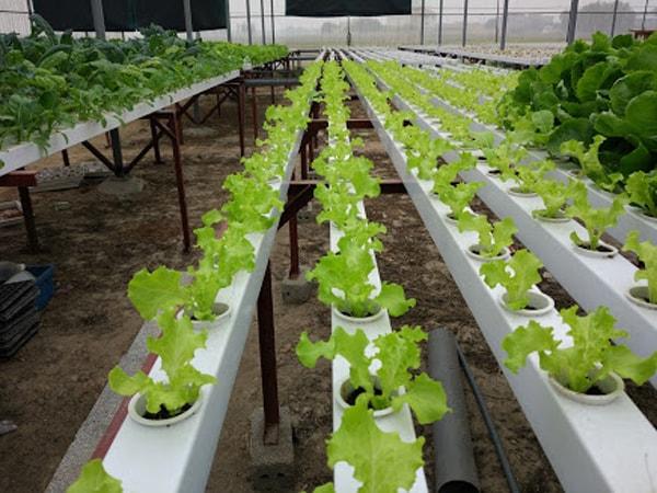 Các tiêu chí đánh giá một dung dịch trồng rau thủy canh tốt