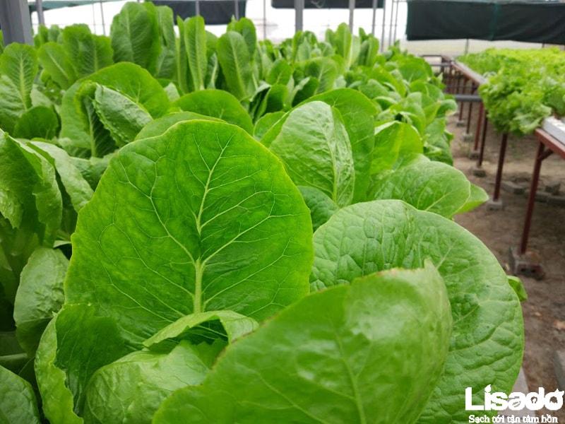 Quy trình trồng rau thủy canh tại Bích Sơn –Việt Yên - Bắc Giang
