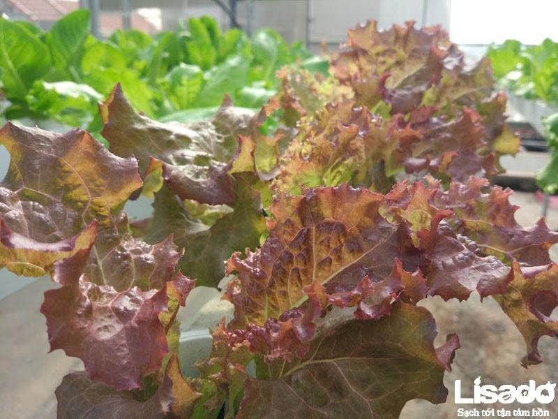 Lisado thực hiện công trình với hệ thống hồi lưu màng mỏng cho năng suất rau trồng cao
