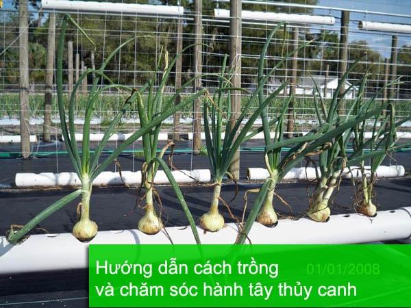 Hướng dẫn cách trồng hành tây thủy canh