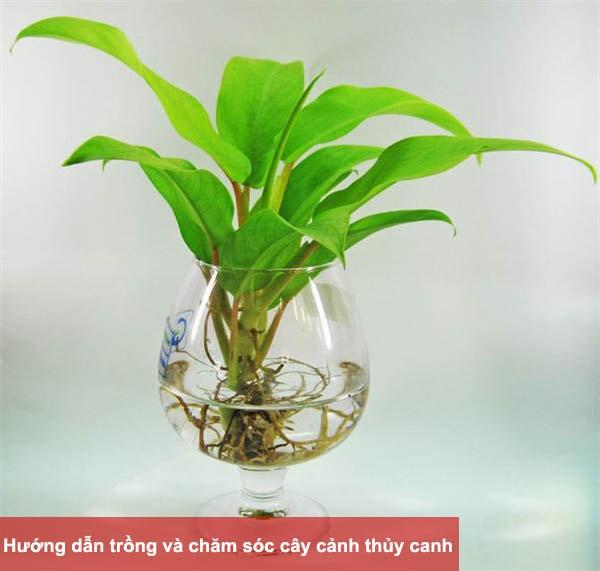 Hướng dẫn trồng và chăm sóc cây cảnh thủy canh