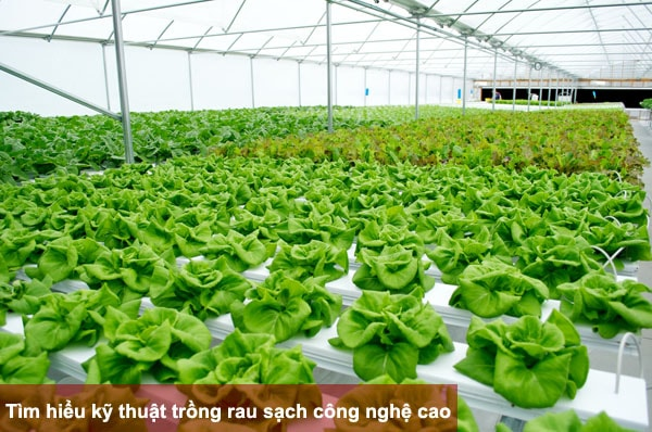 Tìm hiểu kỹ thuật trồng rau sạch công nghệ cao
