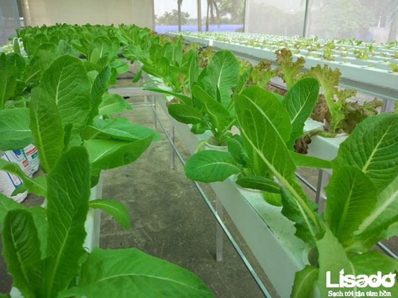 Dự án trồng rau thủy canh sạch tại công ty Hamatra Mê Linh - Hà Nội
