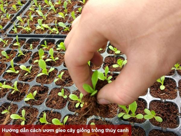 Hướng dẫn cách ươm gieo hạt cây giống trồng thủy canh