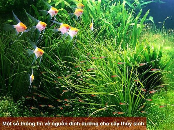 Một số thông tin về nguồn dinh dưỡng cho cây thủy sinh
