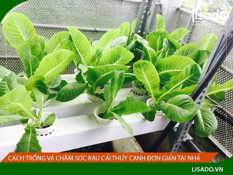 Cách trồng và chăm sóc rau cải thủy canh đơn giản tại nhà