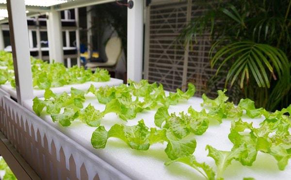 Giải đáp một số thắc mắc khi trồng rau thủy canh tĩnh