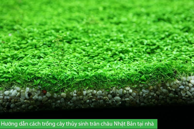 Hướng dẫn cách trồng cây thủy sinh trân châu Nhật Bản tại nhà