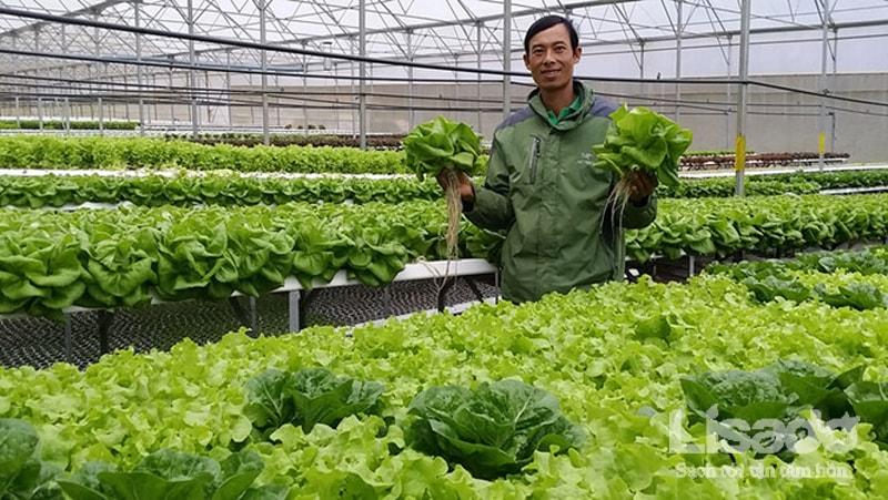 Mô hình làm giàu từ trồng rau thủy canh