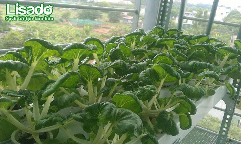 Làm thế nào để rau trồng thủy canh luôn xanh tươi?