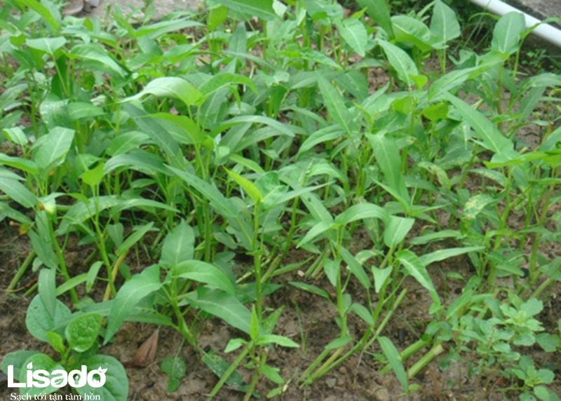 7 loại rau sạch dễ trồng bằng phương pháp giâm cành