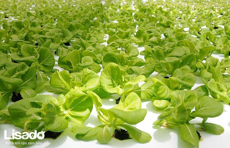 Mô hình trồng rau thủy canh hồi lưu tại các đảo
