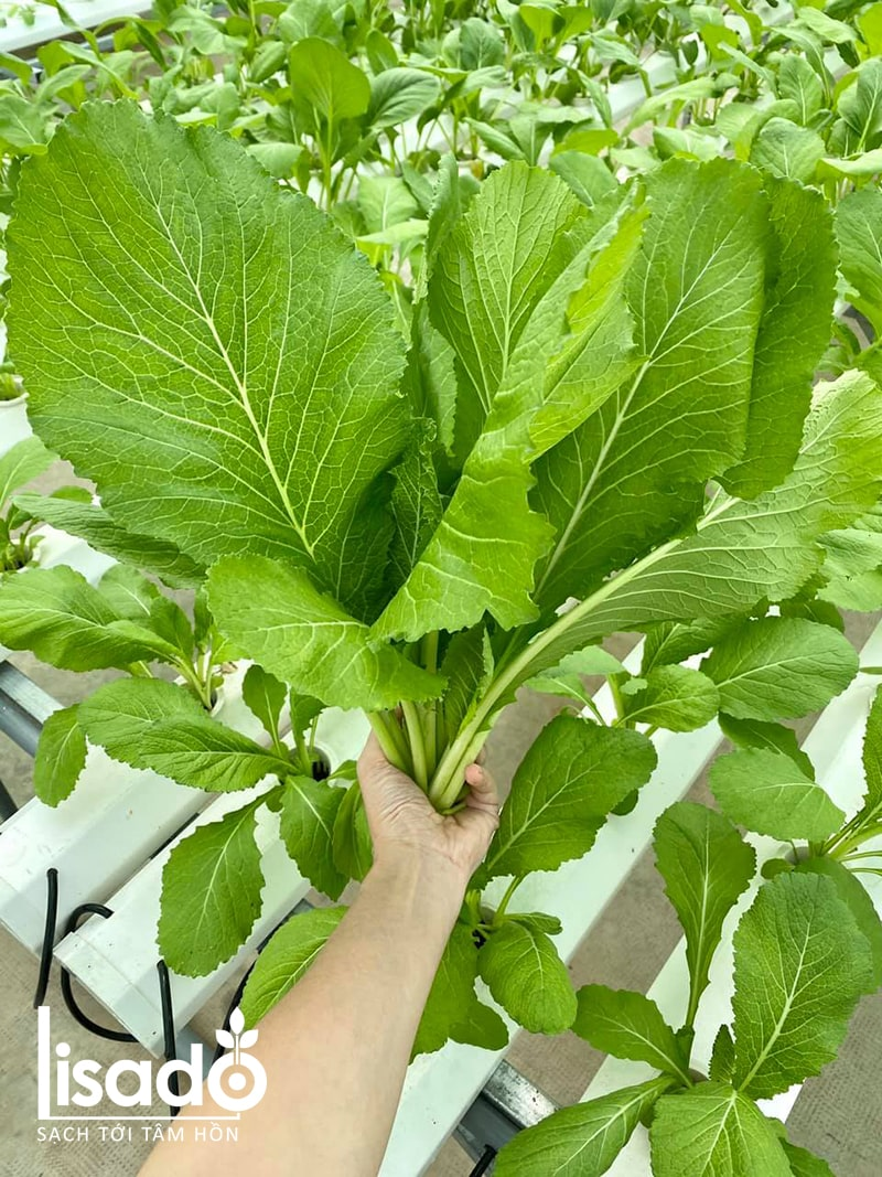 Ăn rau trồng bằng phương pháp thủy canh có ngon không?