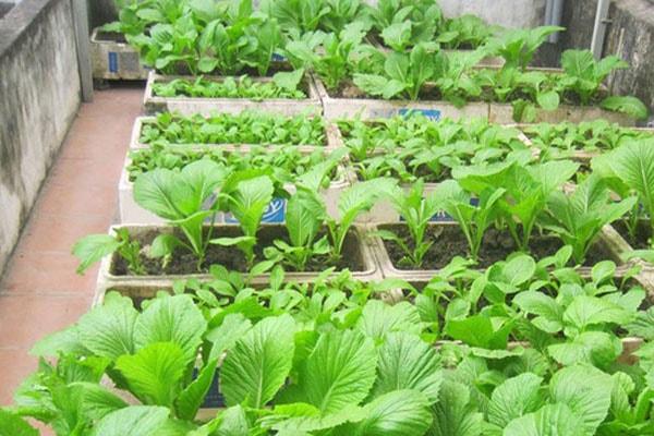 Trồng rau sạch tại nhà: bón phân như thế nào là đúng cách?