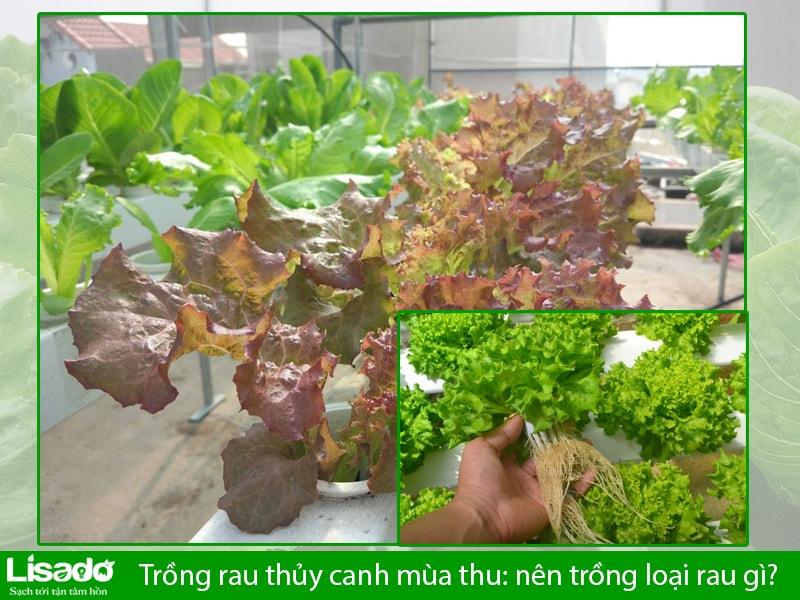 Trồng rau thủy canh mùa thu: nên trồng loại rau gì?