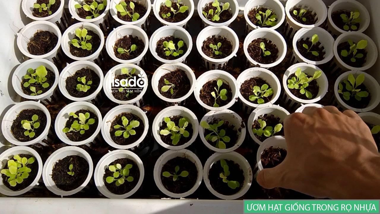 Ươm hạt giống rau thủy canh bằng rọ nhựa, rọ tre