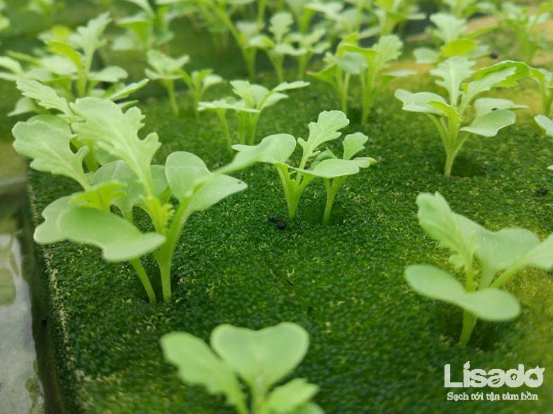 Mút xốp trồng rau thủy canh an toàn, chuyên dụng