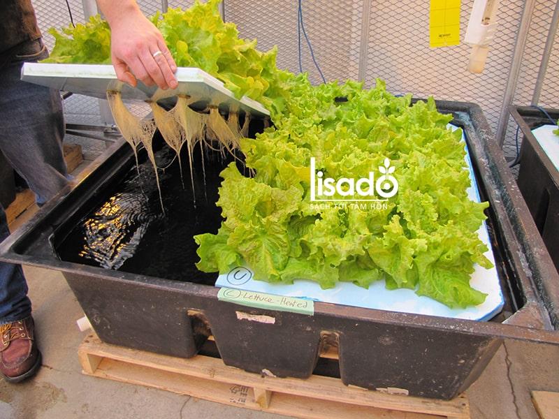 Chậu trồng rau thủy canh cũng ảnh hưởng đến dung dịch thủy canh