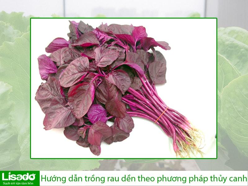 Hướng dẫn trồng rau dền theo phương pháp thủy canh