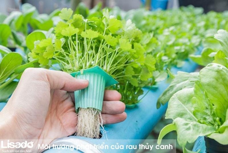 Môi trường phát triển của rau thủy canh (giá thể thủy canh)