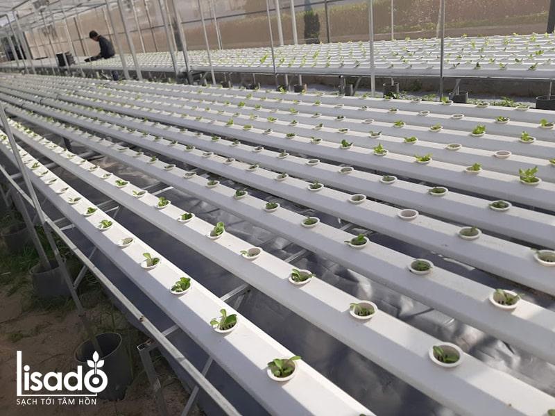 Sử dụng ống nhựa thủy canh cách nhiệt cho rau ăn lá