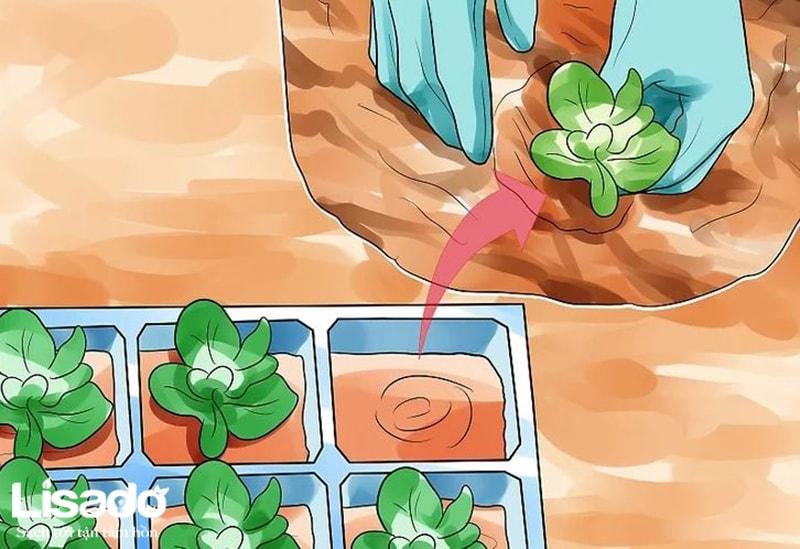 Cách trồng rau xà lách Mỹ phát triển nhanh nhất