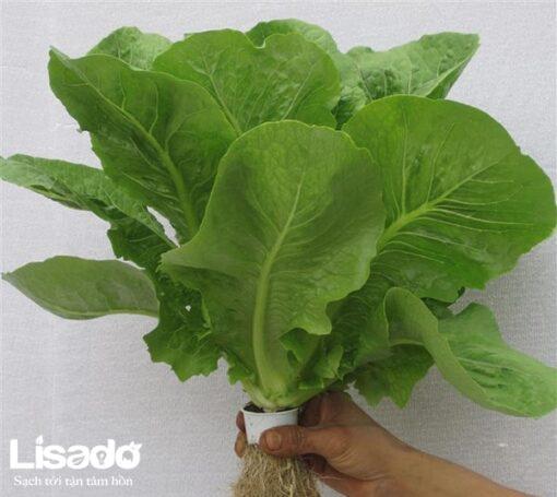 Hạt giống rau xà lách romaine xanh chất lượng cao, giá tốt