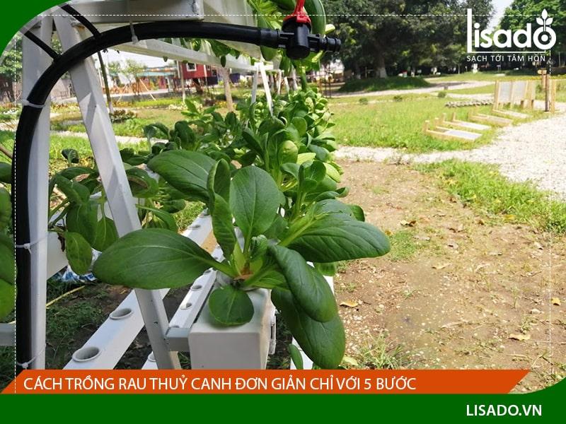 Cách trồng rau thuỷ canh đơn giản chỉ với 5 bước