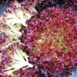 Hạt giống rau xà lách Lollo đỏ chất lượng, giá tốt nhất