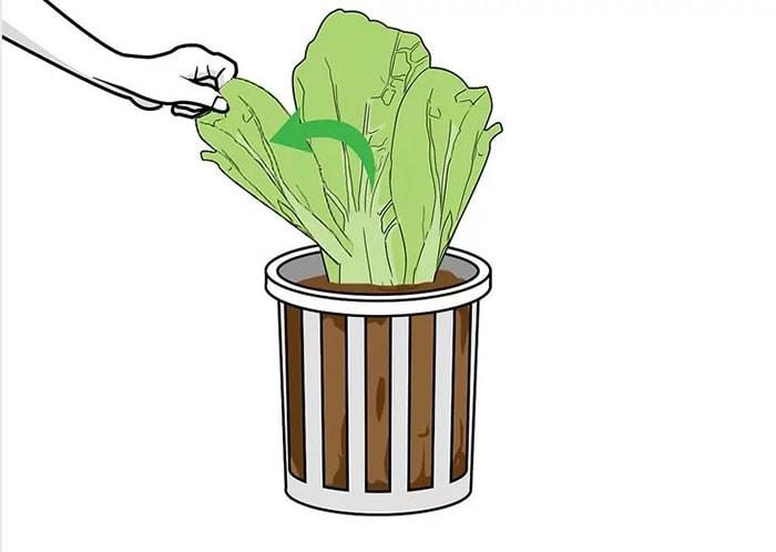 Phương pháp trồng rau xà lách thủy canh từ A-Z cho người mới bắt đầu